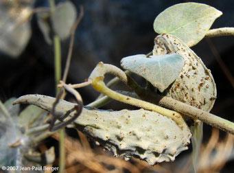 Pergularia tomentosa (fruit) - Bord de route vers Munay