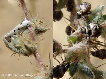 Insectes vivant sur Bassia muricata - Région côtière - Ajman
