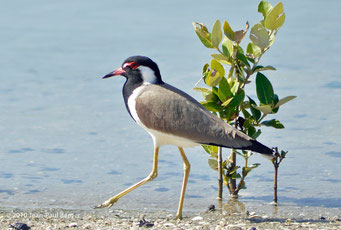 Mangrove à Ajman