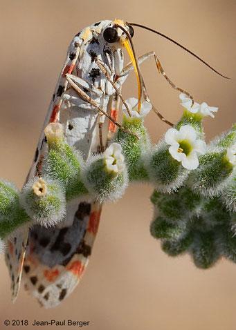 Utetheisa sur un Heliotropium bacciferum - Petit Wadi parallèle à Wadi Showka