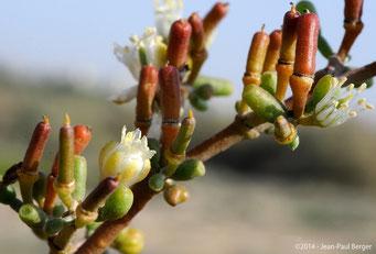 Zygophyllum qatarense - Ruwayyah (Dubai)
