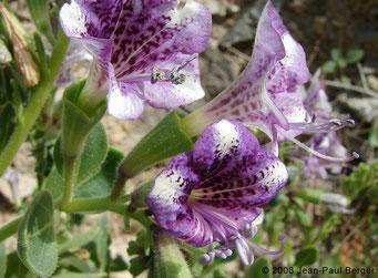 Hyoscyamus muticus - Wadi Abadilah (maintenant autoroute)