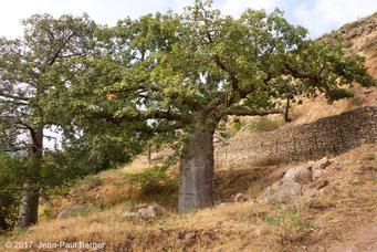 Baobab - Forêt sur le versant océanique du Jebel Samhan