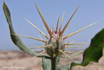 Centaurea pseudosinaica - Région côtière - Umm Al Quwain