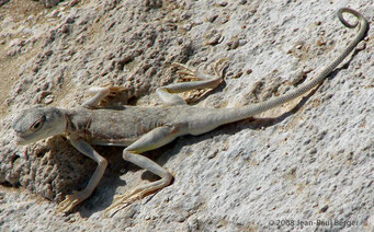 Arabian_Toad-headed_Agama (Phrynocephalus) dans le désert au Sud d'Abu Dhabi