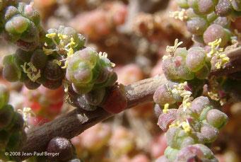 Halopeplis perfoliata - Dunes côtières - Ajman