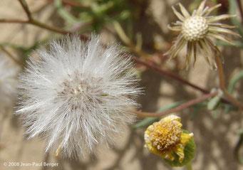 Senecio glaucus - Dunes côtières - Umm Al Quwain