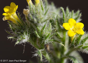 Arnebia hispidissima - Pied du Jebel Fayah