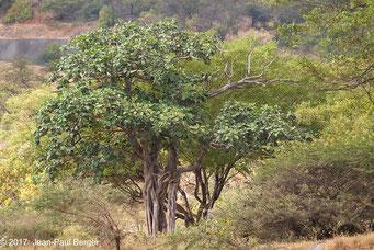 Figuier - Forêt sur le versant océanique du Jebel Samhan
