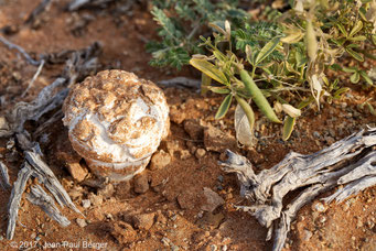 Tirmania nivea (Truffe du désert) - Pied du Jebel Fayah