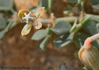 Seetzenia lanata - Pied du Jebel Fayah