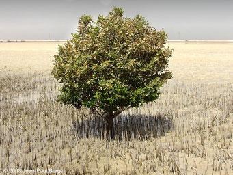 Avicennia marina - Al Qanatir (Mangrove à l'Ouest d'Abu-Dhabi)