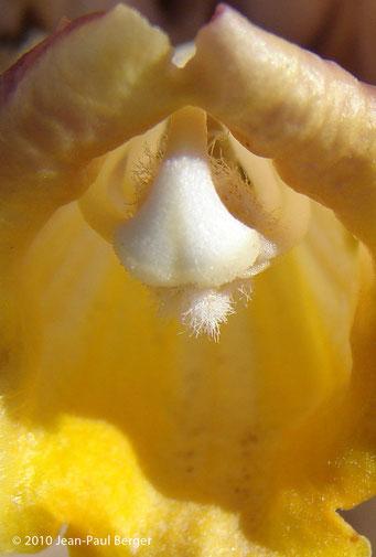 Cistanche tubulosa - Dune côtière - Ajman