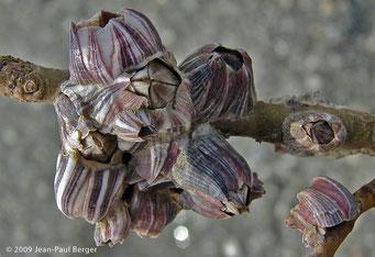 Balanes sur Avicennia - Mangrove de Kalba