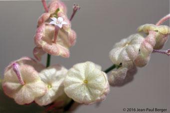 Pseudogaillonia hymenostephana - Wadi Daynah