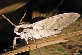 Papillon de nuit dans le désert d'Al Ain