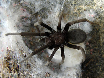 Araignée (famille des Filistatidae and probablement genre Sahastata)