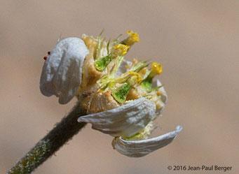 Anthemis odontostephana - Jebel Sayh - Musandam
