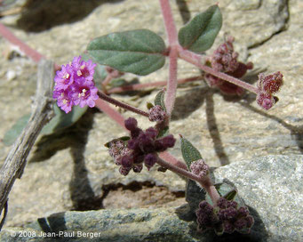 Boerhavia diffusa - Wadi Abadilah (maintenant autoroute)