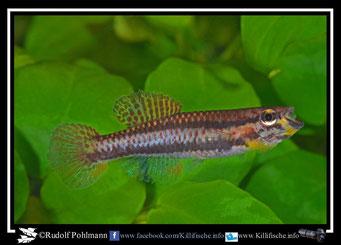 1 Aphyosemion (Chromaphyosemion) pamaense Pama ADK 10/323 female (Kamerun)