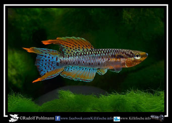 "7 Aphyosemion (Chromaphyosemion) bivittatum ""Funge 2013 ""   (Gruppe2) Kamerun"