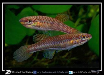 "Aphyosemion (Chromaphyosemion) spec. Niger ""Oba Onitsha NA 04/2"" female (Nigeria)"
