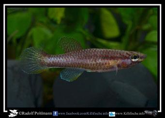 2  Aphyosemion (Chromaphyosemion) malumbresi GEMLCG 07/50 female (Äquatorialguinea)