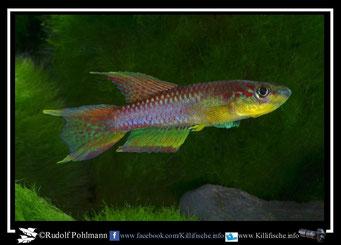 "18. Aphyosemion (Chromaphyosemion) volcanum  ""Penda- Mboko  ""  (Kamerun)"