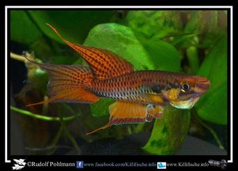 "3 Aphyosemion (Chromaphyosemion) bitaeniatum ""Zagnanado"" Benin"