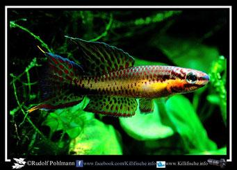 """16. Aphyosemion (Chromaphyosemion) punctulatum """"Bibabimwoto HJRK 92/16"""" (Kamerun)"""