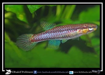 "4. Aphyosemion (Chromaphyosemion) koungueense ""Mangoule"" female (Kamerun)"