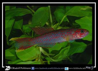 2. Aphyosemion (Chromaphyosemion) riggenbachi Yabassi- Loum KV 03/29 (Kamerun)