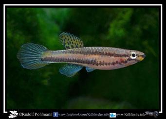 """4  Aphyosemion (Chromaphyosemion) melinoeides """"Akok KV 03/37"""" (Kamerun)"""