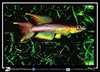 "19. Aphyosemion (Chromaphyosemion) volcanum  ""Bamukong, Ombe - River System""  (Kamerun)"