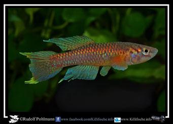 """2. Aphyosemion (Chromaphyosemion)  poliaki """"Ekona C 03/43""""  (Kamerun"""