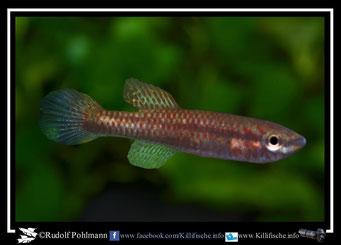 """4 Aphyosemion (Chromaphyosemion) bivittatum """"Iwai"""" (Togo) KV 03/32"""" female (Gruppe3) Kamerun"""