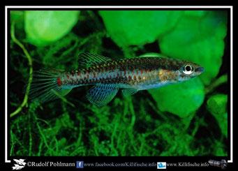 """6 Aphyosemion (Chromaphyosemion) bivittatum """"Mundemba C 91""""female  (Gruppe3) Kamerun"""