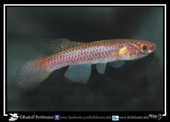 """11. Aphyosemion (Chromaphyosemion) poliaki """"Mutengene C 03 /45"""" female  (Kamerun)"""