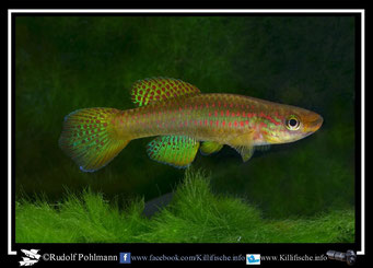 9. Aphyosemion (Chromaphyosemion) riggenbachi Nkouli - Ngnock female ABC 05/19 (Kamerun)
