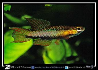 """10. Aphyosemion (Chromaphyosemion) melanogaster """"ABC 05/23"""" (Kamerun)"""