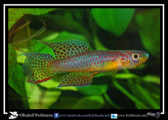 """12 Aphyosemion (Chromaphyosemion) ecucuense """"GEMLBJ 03/42"""" Äquatorialguinea"""
