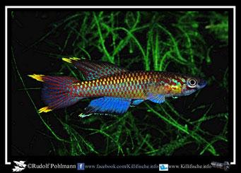 """1. Aphyosemion (Chromaphyosemion) poliaki """"Ekona"""" (Kamerun)"""