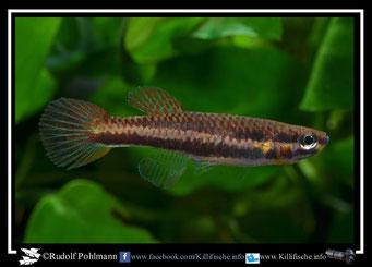 "13 Aphyosemion (Chromaphyosemion) ""Ecurya GEMHS 00/41"" female (Äquatorialguinea)"