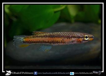 """3 Aphyosemion (Chromaphyosemion) melinoeides """"Fenda ADK 09/291"""" female (Kamerun)"""