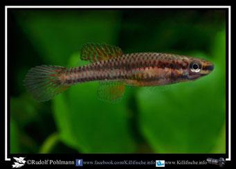 "8 Aphyosemion (Chromaphyosemion) loennbergii ""Bodi"" female (Kamerun)"