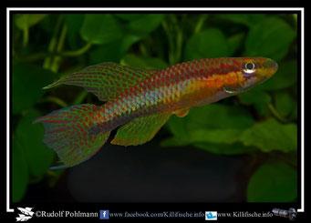 14. Aphyosemion (Chromaphyosemion) melanogaster Lolabe ABL 08/206 +ABC 05/58 (Kamerun)