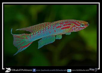 "12. Aphyosemion (Chromaphyosemion) riggenbachi ""Cellucam ABK 07/132"" (Kamerun)"