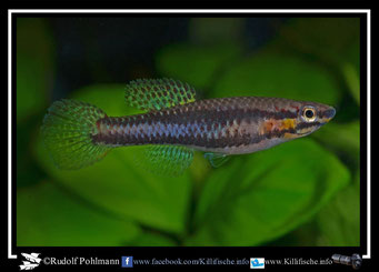 "7.  Aphyosemion (Chromaphyosemion) splendopleure ""Likado CSK 95 / 23"" female (Kamerun)"