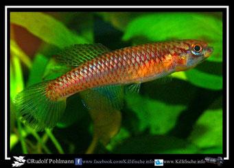 10. Aphyosemion (Chromaphyosemion) poliaki Bowanda KV 03/18 female (Kamerun)