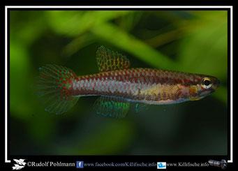 """2. Aphyosemion (Chromaphyosemion)  volcanum """"Njombe ABL 08/ 260  """" female  (Kamerun)"""